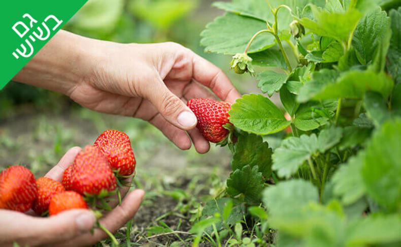 קטיף תותים משק אריאל