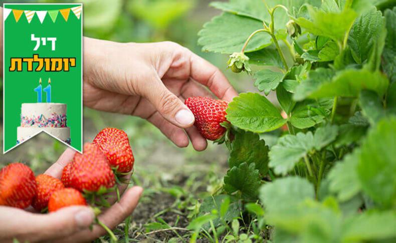 קטיף תותים משק אריאל גם בפורים
