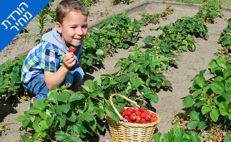 קטיף תותים במשק אקלר